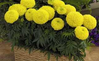 Вьющиеся цветы для балкона солнечная сторона