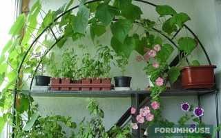 Городской огурчик как выращивать на подоконнике