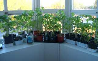 Как вырастить томаты на подоконнике в квартире